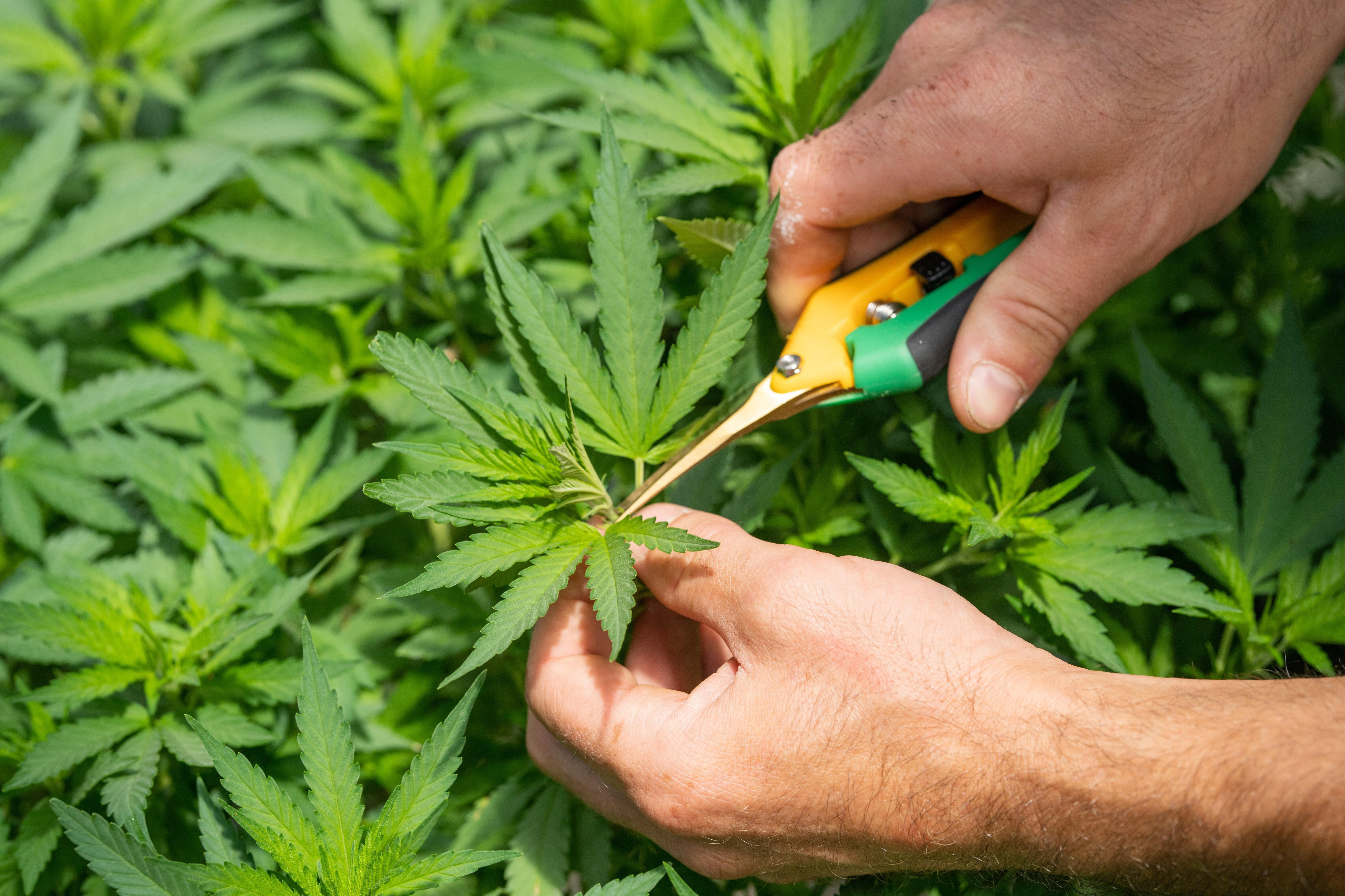 Top 5 Things to do with your bud trimmings