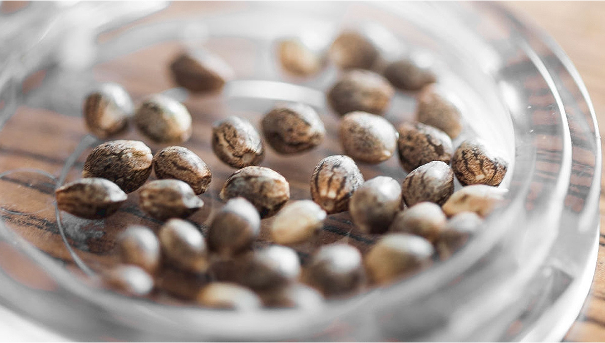 How to Keep Cannabis Seeds Fresh Indefinitely