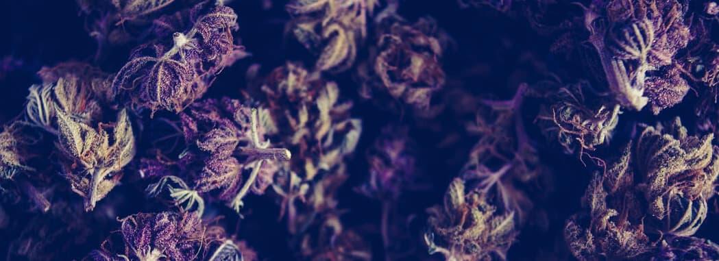 purple cannabis