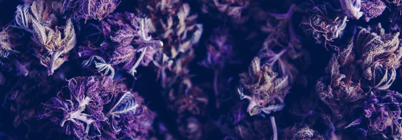 blue cannabis buds
